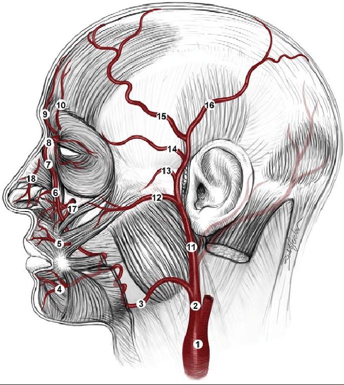 arterias del rostro - relevancia procedimientos no invasivos