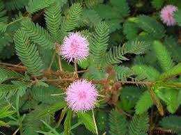 Mimosa wikimedia